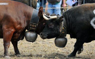 La Bataille des Reines, la folkloristica battaglia delle mucche
